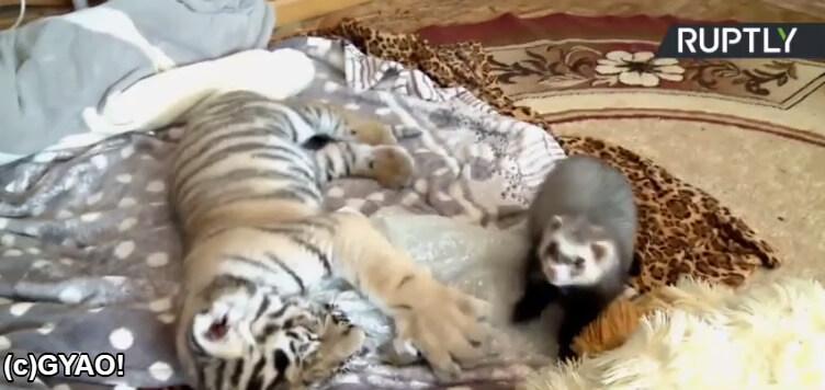 寝ている子虎とフェレット
