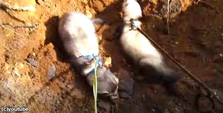 森へお散歩にいった2匹のフェレットたち、夢中で穴掘りを始める。「楽しいよ~!」「止まらないよー!」