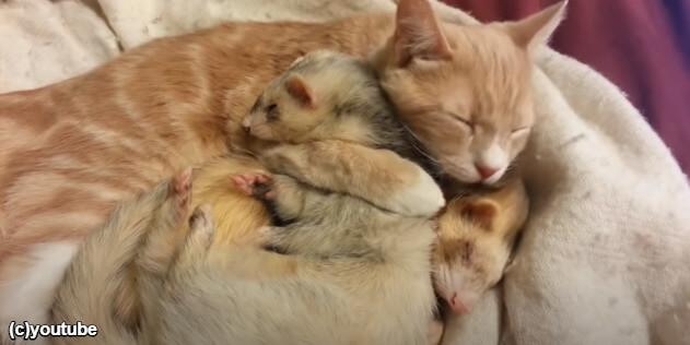 フェレットをぎゅっと抱いてすやすや眠る猫