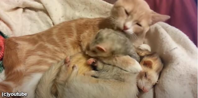 フェレットを舐める猫