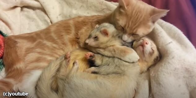 顔を寄せ合って眠る猫とフェレット