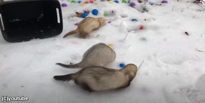 雪を触るフェレット
