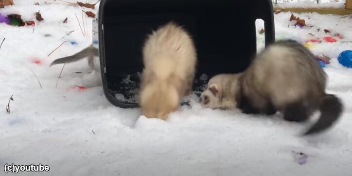 雪を掘るフェレット