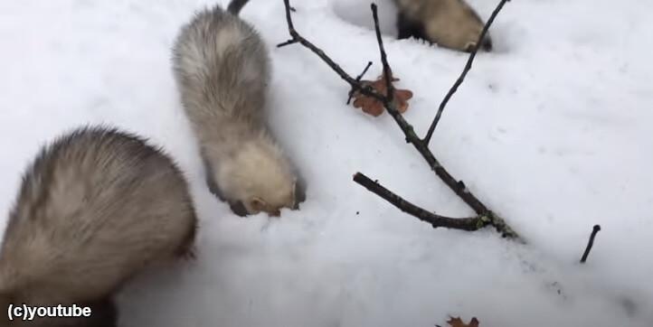 雪掘りに夢中になるフェレット