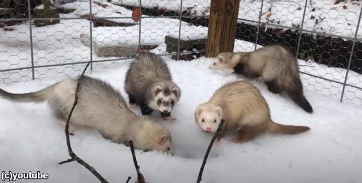 雪に深い穴を掘るフェレット