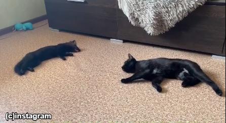 仲良くごろんと寝転ぶフェレットと猫
