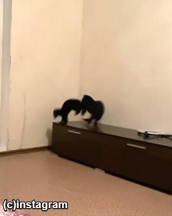 じゃれ合う猫とフェレット