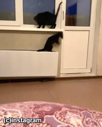 かくれんぼするフェレットと猫