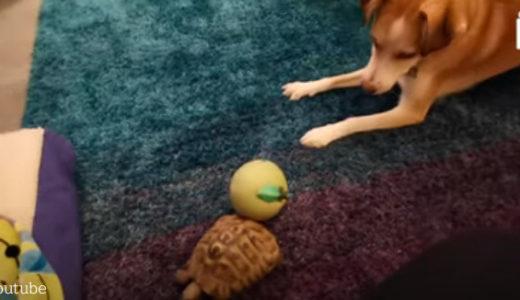 【犬の遊び相手は亀】スピード感が全く違う生き物同士でも友達になれるの?