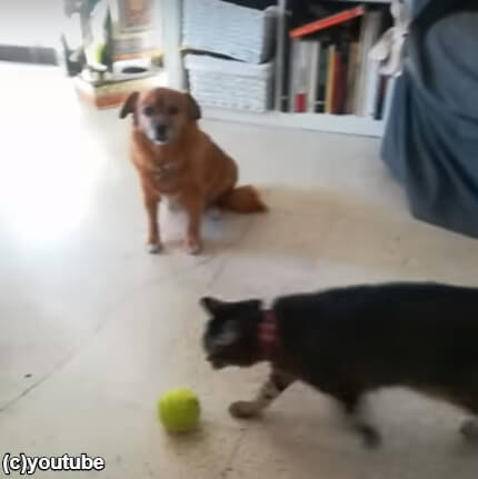 【シュール!】猫が新しいボール遊びにハマる。それを見た犬、言葉を失う…