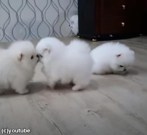 【癒される~】まるでコットン100%!真っ白なモフモフ犬たちの日常生活