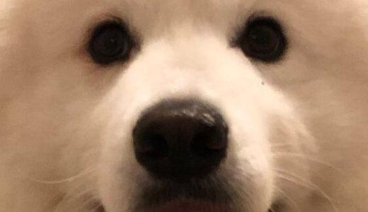 【胸キュン】「ボクを見て。一緒に遊ぼうよ!」とアピールするサモエド犬のサモくんが可愛すぎる