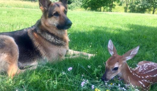 アメリカの農場で起こった奇跡!ジャーマンシェパードと小鹿の物語が美しい