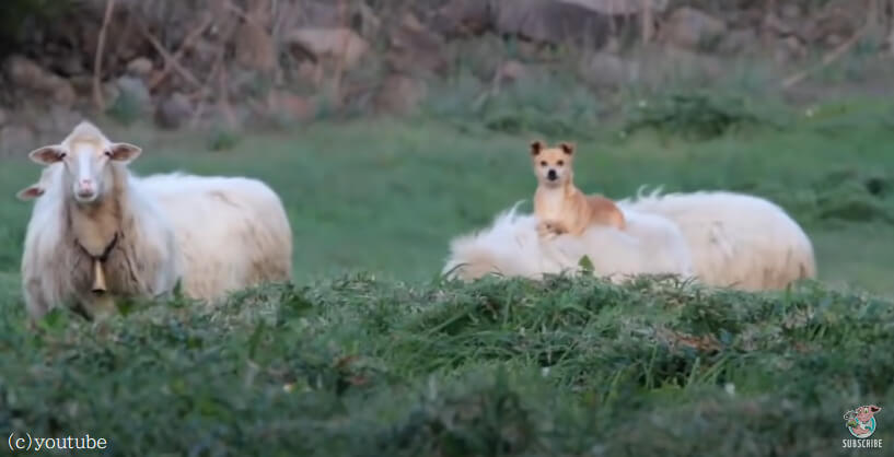 【羊の背中でくつろぐ犬】お昼寝は移動式ベッドの上で!どこか得意気な顔に見えますね