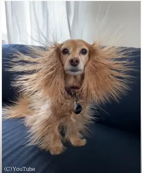 【まるでパンクバンド】長毛の小型犬を強烈な静電気が襲って、とんでもない姿に!