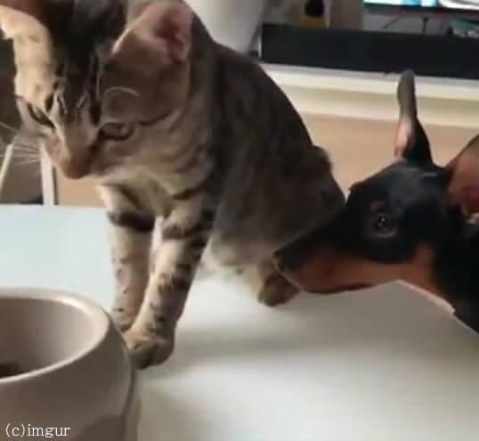 食事中の猫におねだり犬!心優しい猫が犬にとった行動がまるで人間みたい