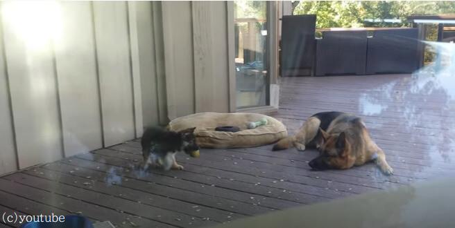 子犬の子育ても楽じゃない!子犬の昼寝タイムを確保したい母犬の必死さが伝わる動画