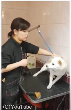 【お願い触らないで!】恐怖心から吠えてしまうワンちゃん。その犬の心を開かせたトリマーの技術がすごすぎる