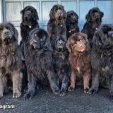 【感動ストーリー】母の意志を受け継ぎアメリカで9匹のセラピー犬を育てる女性のおはなし