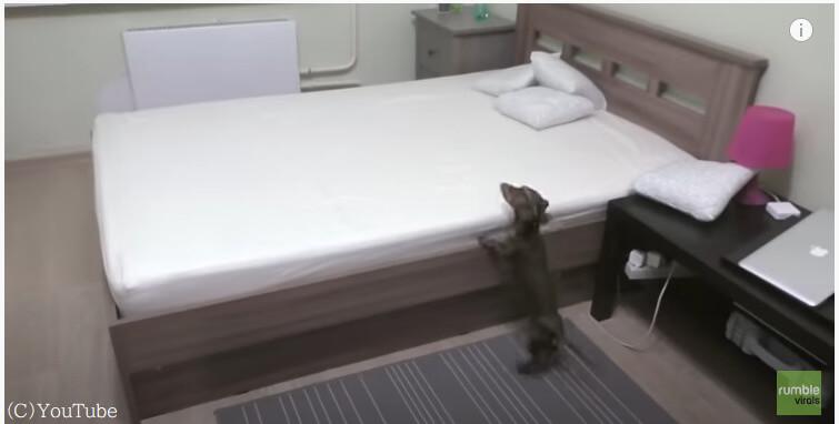 今日はいいの?いつもはダメと言われるベッドの上で喜び爆発のダックスフント