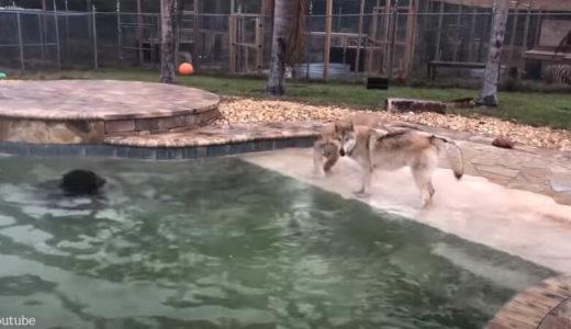 【目の前で異種格闘技?】オオカミとライオンと熊による三つ巴が繰り広げられた結果
