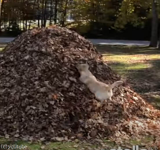 【ちょっと試してみたくなる!】落ち葉の山にダイビングする犬がすごく楽しそう