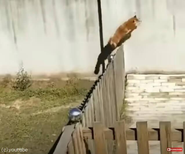 【柵なんか意味がないワン!】縦横無尽に走り回る柴犬の動きが見事すぎる