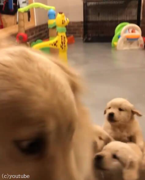 【犬の世界も子育ては大変!】過酷な子育てにてんてこまいの母犬