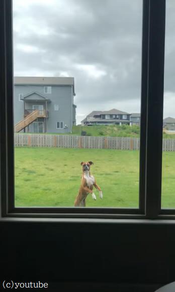 【家の外から必死にアピール】ジャンプしながら飼い主を遊びに誘う犬