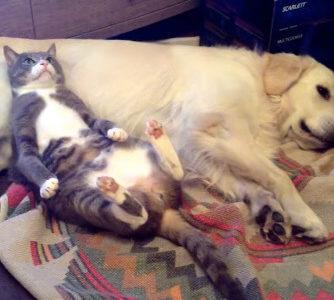 【バレたにゃん!】犬のお腹を枕にくつろいでた猫と枕にされてた犬のバトル勃発!?
