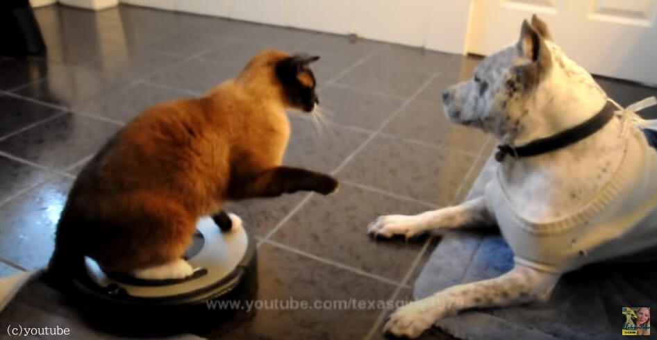 【ルンバに乗った猫最強説?】行く手を邪魔する犬に華麗に猫パンチをお見舞い