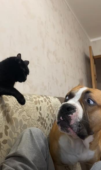 【体は小さいのに強気な猫!】こわもての同居犬が反論できずタジタジで飼い主に訴える姿が可愛い