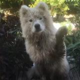 【手を挙げてハイ】人間みたいな挨拶ができる白い犬の笑顔が癒し度満点
