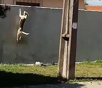 【まるで猫】自分の体高の7倍はありそうな壁をジャンプして越える犬に驚き