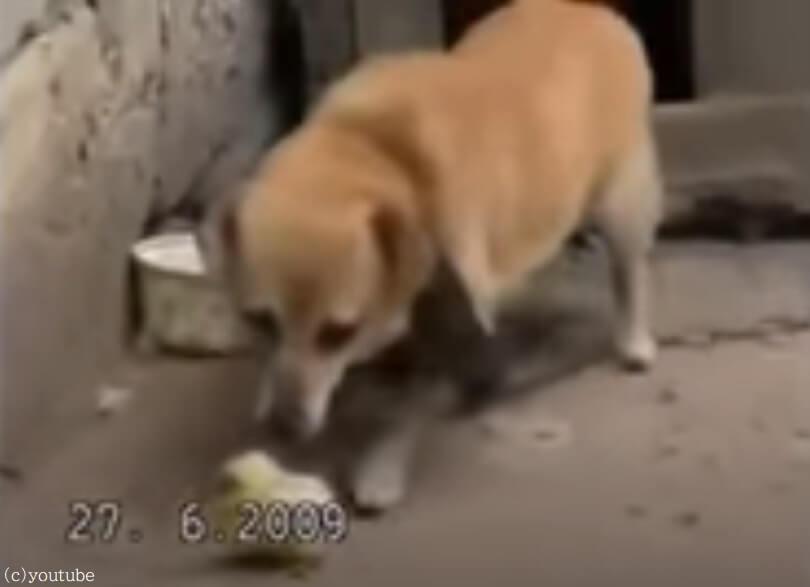 【母性溢れる犬の愛】小さなヒヨコを保護するワンちゃん