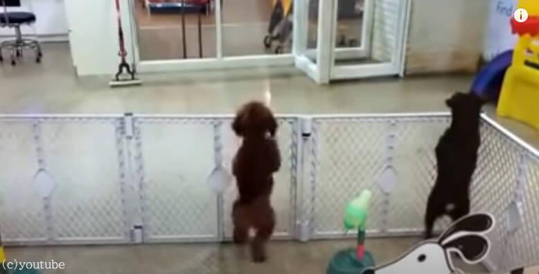 【やっと来てくれたワン!】飼い主が迎えに来てくれたのが嬉しくて踊りだしちゃう犬