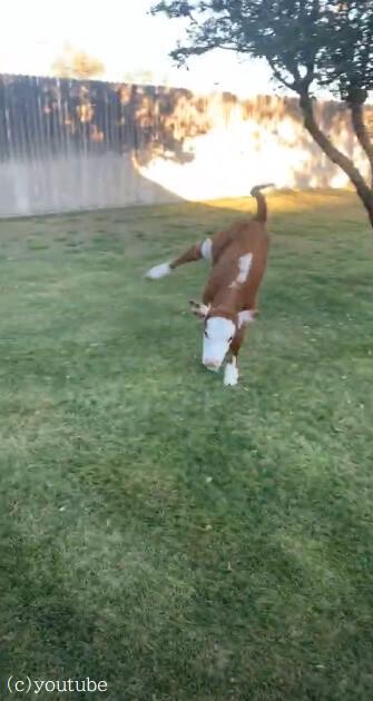 【将来の夢は闘牛!】荒れ狂う様子は荒々しい牛だけど、実はまだまだ小さな子牛