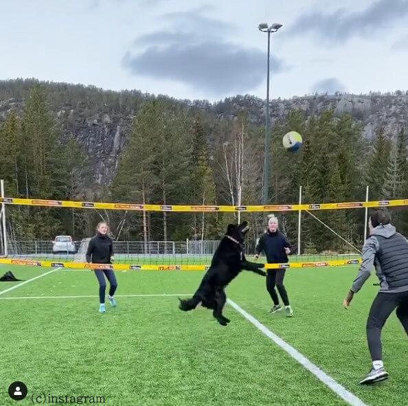 【オリンピックも目指せる?】飼い主と一緒にバレーボールを楽しむ「世界一トスが上手な犬」