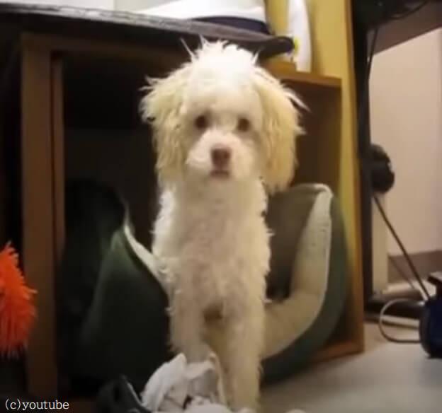 【見つかっちゃた!】飼い主にイタズラがバレたとき愛犬がやった「怒られないための秘策」とは?