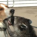 【アライグマの歯医者さん?】犬の口の中が気になって仕方がないアライグマ