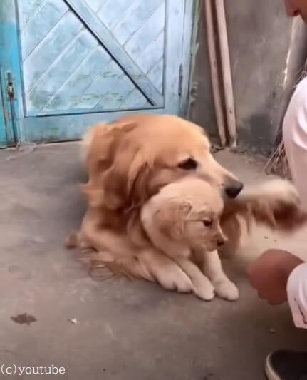 【子犬を守る母の愛】この子は絶対に渡さない!体を張って我が子を保護するゴールデンレトリバー