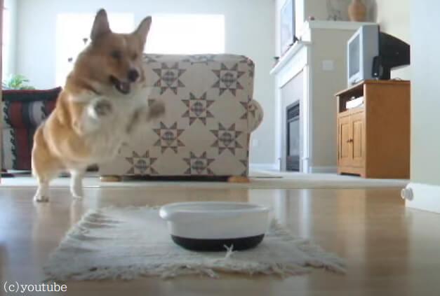 【ご飯タイムが待ちきれない!】愛犬のコーギーによる喜びの舞が可愛らしいと評判に