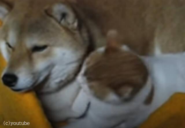【ちょっと邪魔だなあ】お昼寝を猫に邪魔されて、ちょっと困惑気味な犬が可愛い