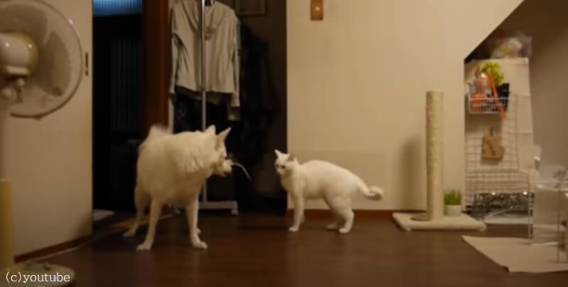 【気に食わないニャン!】同居猫がなんでかご機嫌ななめで怒られる犬が不憫