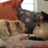 シャム猫にひたすらパンチをされ続けるシェパード犬「ちょっと痛かったわん」