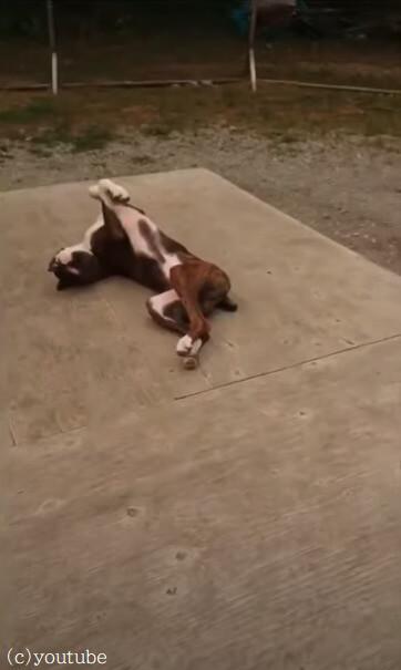 【ここは落ち着くワン!】一匹だけリラックスの度合いが突き抜けてる犬がいた