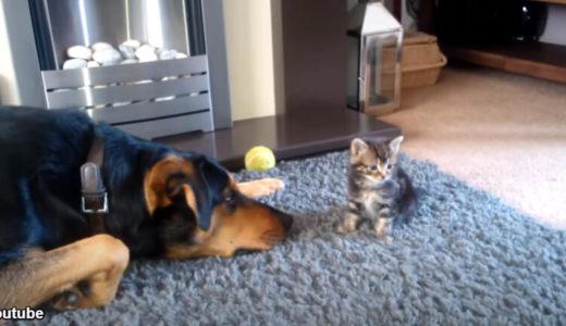 新入りの子猫をやさし~く、そっと見守る大型犬「一緒に遊ぶ…?」「ぷいっ」