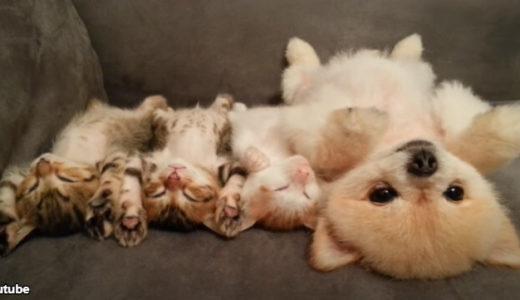 【思わず胸キュン】1匹の犬と3匹の猫たちが「バンザーイ」して昼寝