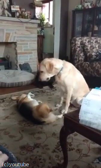 【イタズラはここまで!】ちょっかいを出し続ける相方犬にお説教をするラブラドールレトリバー