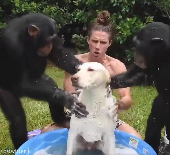 【かゆいところはありませんか?】犬のシャンプーに夢中なチンパンジーの姿が話題になる